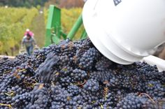 Harvest time at Youngberg Hill in Oregon Wine Country.