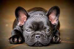 adorable French Bull
