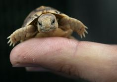 A worker in a zoo holds a tiny Testudo Kleinmanni hatchling. The endangered species is also known as the Egyptian tortoise, and was rescued from the suitcase of a smuggler found in Rome.