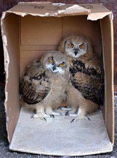 rare owl chicks