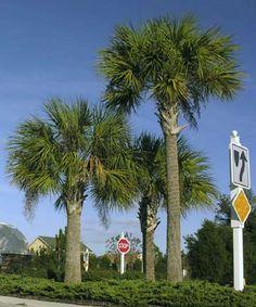 South Carolina State Tree:  Palmetto