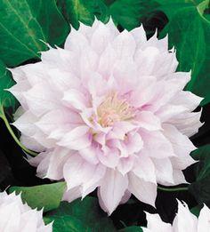 clemati plant, clemati bell, clematis, vine, woke clemati, belle, dahlia, garden, flower