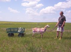 #goatvet likes this sensible advice about training a goat to pull a wagon