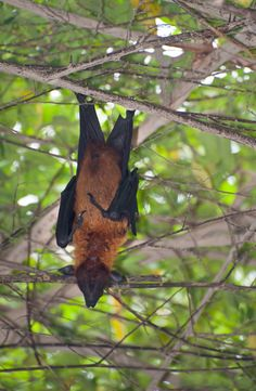 """What do bats sing when it is raining? """"Raindrops Keep Falling on my Feet""""! - See more at: http://mirthinablog.com/2014/10/13/fangs-for-the-bat-jokes/#sthash.nXCvpfYS.dpuf #bat #jokes #Halloween"""