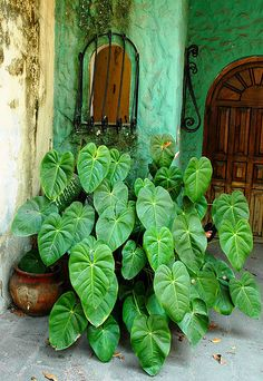 mexican potted shade plant Potted plants in the shadow of a doorway, Puerto Vallarta Mexico