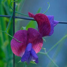 Sweet pea  Latin name: Lathyrus odoratus and cvs.
