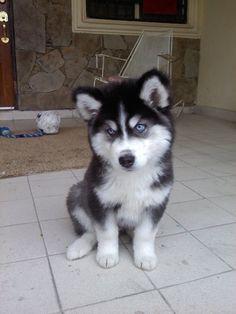 Husky=<3