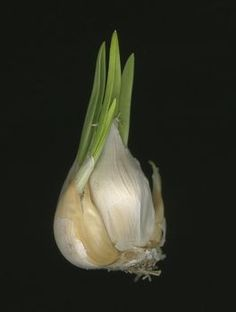 How to grow garlic indoors from a garlic clove