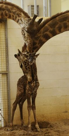 baby giraffe born at cincinnati zoo (my hometown!)