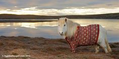 A Shetland pony wearing a red sweater on the beach (© Rob McDougall, http://www.robmcdougall.com/)