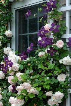 """Shorter roses and clematises are ideal for framing windows. An advantage of growing these two plants together is that with correct pruning, the clematis will flower from the base to the top, its flowers masking the inevitable """"bare legs"""" of the climbing rose."""