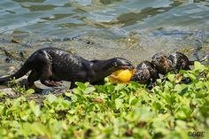 Otter mother presents a fish to her pups... what a pretty fish too!