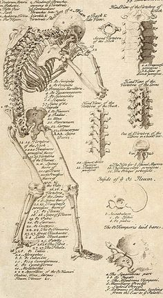 Anatomical chart from Cyclopaedia, 1728, volume 1, between pages 84 and 85. Chambers, Ephraim, 1680