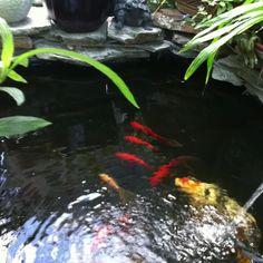 My small koi pond