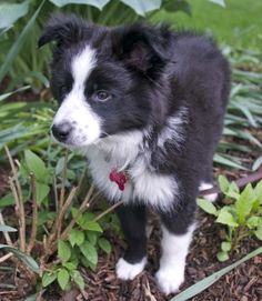 Scout the Border Collie Mix