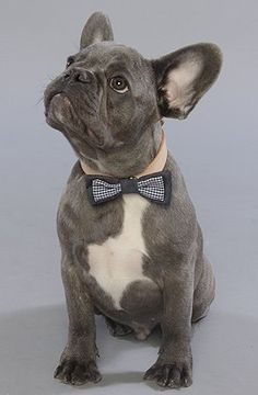 French Bullie in a bowtie
