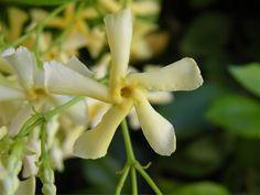 Trachelospermum Golden Duel