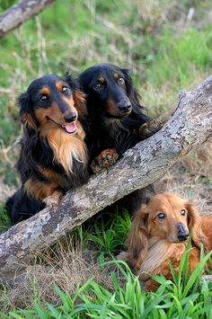 A Happy Little Doxie Trio