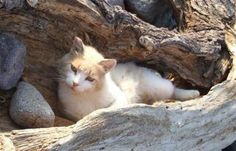 Aegean cat