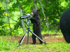 Maine Black Bear Cub and a Camera    Paul Cyr Photography:  http://www.crownofmaine.com/paulcyr/categories/index.php?page=3&tag=Bears