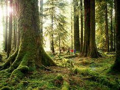 Hoh Rain Forest ~ Olympic National Park
