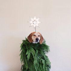 christmas cards, beagl, christmas tree ideas, puppi, dog, happy holidays, christmas trees, tree toppers, the holiday