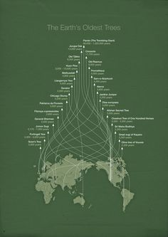 The Earth's Oldest Trees - Trembling Giants by Michæl Paukner via ubersuper #Infographic #Trees #Oldest_Trees