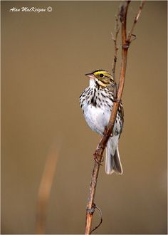 Sparrow- yellow face, spotted chest