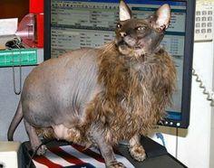 lykoi cat pictures - Google zoeken