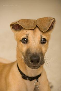 Greyhound Puppy....precious