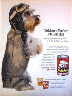 1960 Friskies dog food print ad featuring a  Mini Schnauzer in pilot helmet