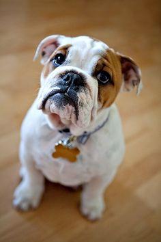 Bulldog pup.. So cute!