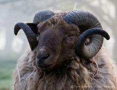 Varmland Forest Sheep
