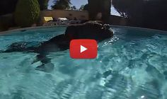This Boston Terrier Enjoys Life Swimming in a Beautiful In-Ground Pool! WATCH! ► http://www.bterrier.com/?p=26043