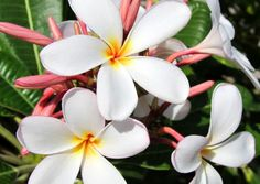 Plumeria near Kukio Bay on the Big Island