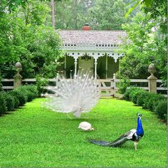 Behind The Barn, is the Peacock House.  Aren't the Peacock's Gorgeous~Americus Georgia, Photo by Max Kim-Bee~❥