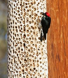 """Acorn woodpeckers, as their name implies, depend heavily on acorns for food. In some parts of their range (e.g., California), the woodpeckers create granaries or """"acorn trees"""" by drilling holes in dead trees, dead branches, telephone poles and wooden buildings. The woodpeckers then collect acorns and find a hole that is just the right size for the acorn. As acorns dry out, they are moved to smaller holes and granary maintenance requires a significant amount of the bird's time."""