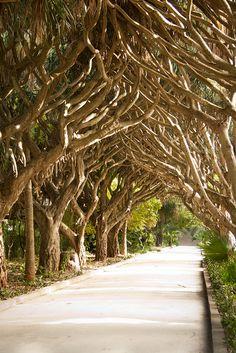 Allée de dragonniers, Hamma Gardens in Algiers, Algeria (by Gostokom).