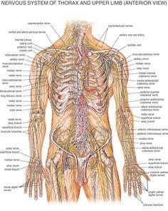 anatomy of body anatomy picture of human body anatomy female anatomy ...