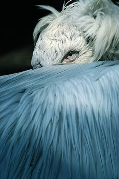 Dalmatian pelican by Helmut Moik - print (awesome photo!)