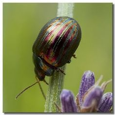 lavender beetle - pity it is a pest