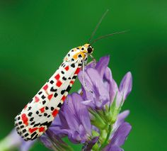 Handsome bug-ger - A crimson speckled moth. Increasing numbers of rare migrant species are believed to have arrived in the UK due to the hot summer and warm au...