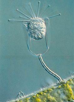 microscop photographi, filament green, bacteria, stalk protozoan, surfac univers, nikon, green alga, protozoan attach