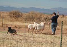 herd dog, australian shepherd, dog move