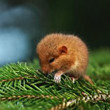 Carpathian sleepy rodent; Posted by: Maxine