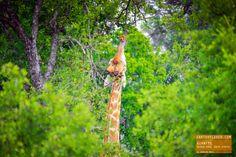 Giraffe Having Lunch
