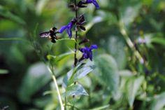 bumbl bee, habitat garden, butterfli habitat, garden friend, bumble bees, bee bombus
