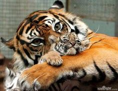 mom and baby tiger love