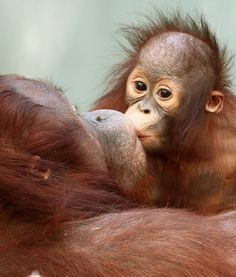 Loving kiss!  #mom #baby #orangutan #motherhood