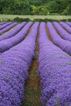 The lavenders (Lavandula)